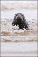 Bull Seal In The Surf by nitsch