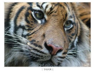 Taronga Zoo - Tiger by z-i-t-e-x