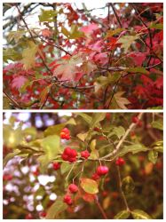 Dyptich of autumn. by OrchidFeehan