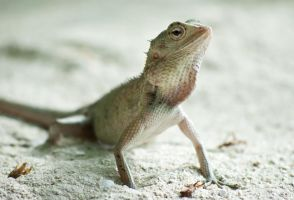 Calotes versicolor by Indigbow
