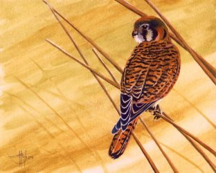 Looking For Lunch - Kestrel by HOULY1970