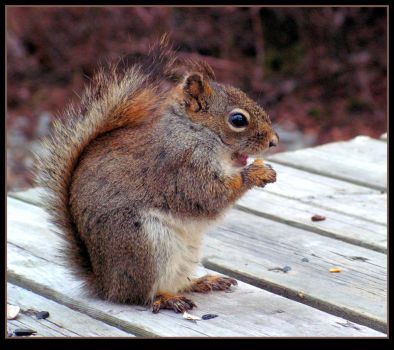 Another Happy Squirrel by JocelyneR
