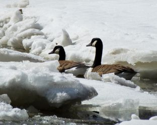 Canadian Geese Icebreakers by foxvox