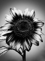 .:.One More Sunflower.:. by Ailedda