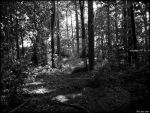 Trees (DSCF4526 #1a BW) by Chattering-Magpie