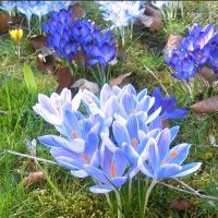 Crocuses in my garden by dragonfire70