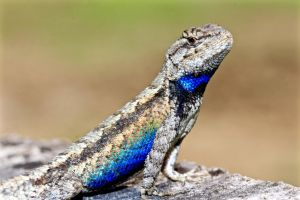 Mississippi Fence Lizard II by FallOut99