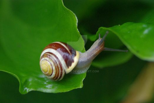 Cepaea hortensis (banded snail) #2 by emilybee