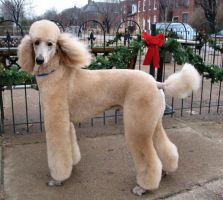 MICKEY STANDARD POODLE 2 by CRYSTALSPICS