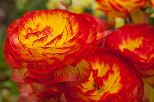 Red Ranunculus by LobotomizedGoat