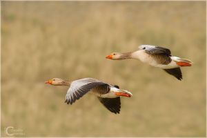 Greylag Goose by ClaudeG