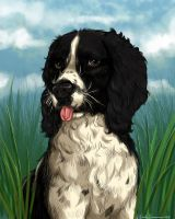 Jasper the Springer Spaniel Colored by EmilyCammisa