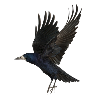 Crow-PNG by yotoots