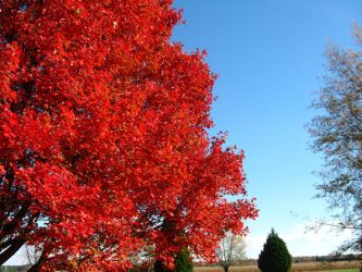 Fire Red Tree I by hauntingmewithstock