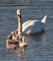 Little swanes by artistmarty