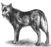 Black wolf by Amarevia