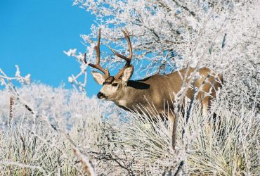 Morning Frost Muley by mttomimages