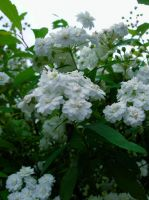 White Flowers by shutter-bug664