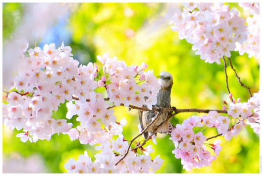 Brown-eared Bulbul in Flowers by simzcom