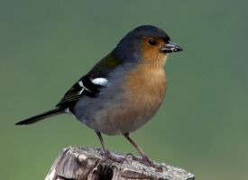 Common chaffinch by UdoChristmann