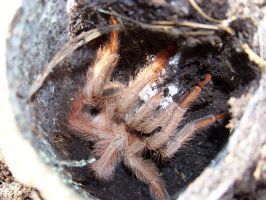 T. gigas mother by T-i-g-g