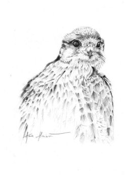 Lanner falcon by AnyaPeregrinArt