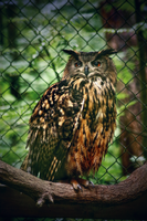 Eagle Owl by TheEmpatheticCat