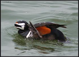 Harlequin Scratch by EWilloughby
