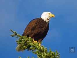 Eagle Hanging Onto Branch by wolfwings1
