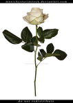 White Rose Long Stem Cut Out by ManicHysteriaStock