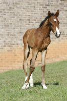 Bay Dutch Warmblood Filly - Orphan Foal by HorseStockPhotos