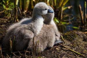 Day-old Cygnets (2) by Mincingyoda