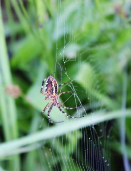 Female Wasp Spider by Caillean-Photography