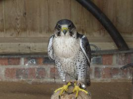 Peregrine Falcon by thepapercraftcouple