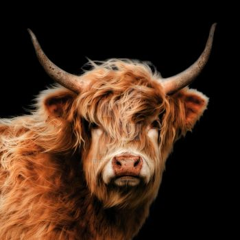 Highland Cow Colour Portrait by linseywilliams