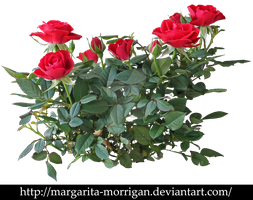 shrub roses by margarita-morrigan