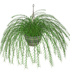 Hanging Fern stock plant by madetobeunique