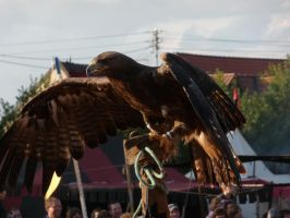 eagle V by mimose-stock