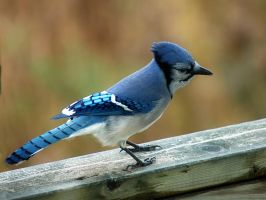 Blue jay 6 by LucieG-Stock