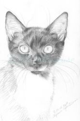 Ivo (shelter cat) by Sillageuse