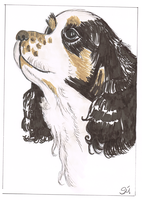 King Charles Spaniel by exclusivelysu