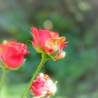 Now that your roses are in bloom by larksgar