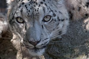 Snow Leopard 2750 by robbobert