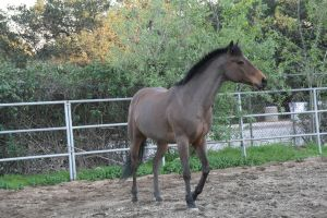little bay horse stock 4 by Aestivall-Stock