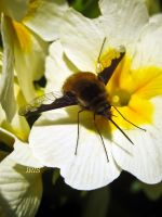 Bombylius Major by Iris-cup