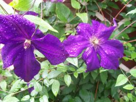 Purple Clematis by Lisa99