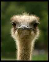 Emu by tpphotography