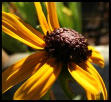 Black Eyed Susan by louiecablouie