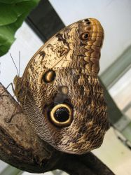 Owl butterfly by RetroDevil