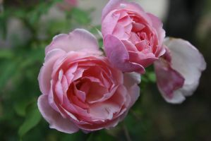 Roses 1301 by fa-stock